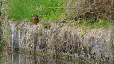 Kingfisher on the canal